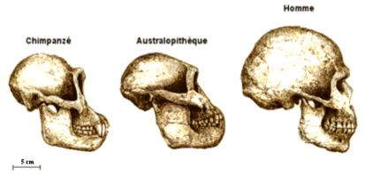Lucy Australopitheque